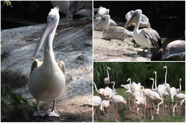 Pelicanos, flamencos en el Zoológico de Rotterdam o Diergaarde Blijdorp