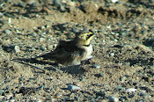 Shorelark