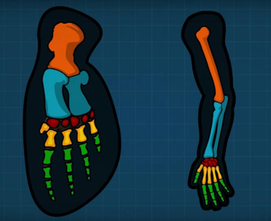 Capítulos de Anatomía del Dr. Tulp: El eslabón perdido