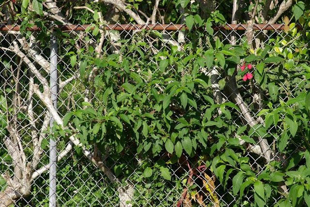 Phytolacca americana - Pokeweed