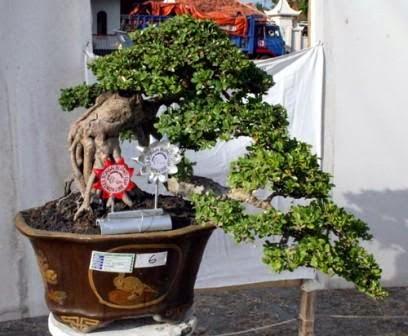 bonsai kawista terjun