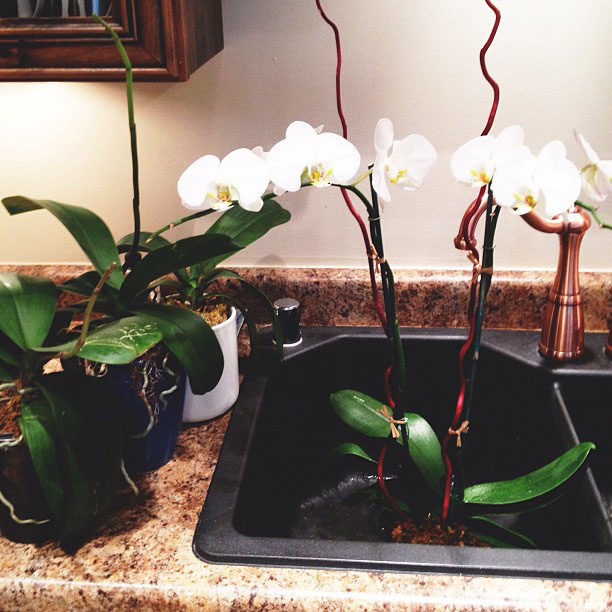 regrow orchids