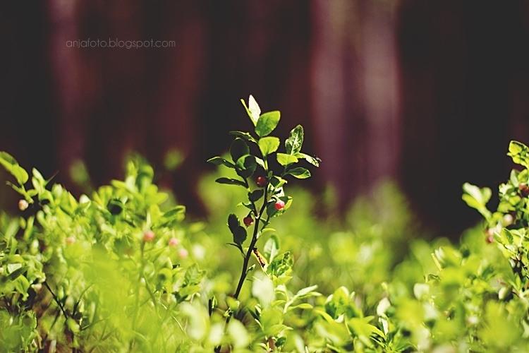 las, forrest, borówki, bokeh, bokeh photography