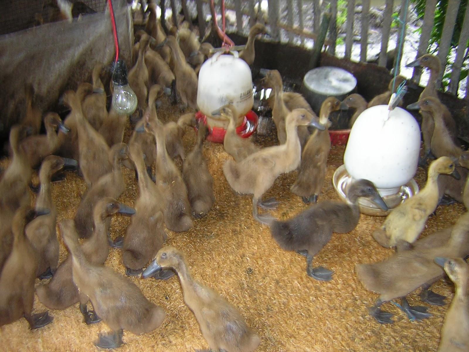ternak ayam di rumah