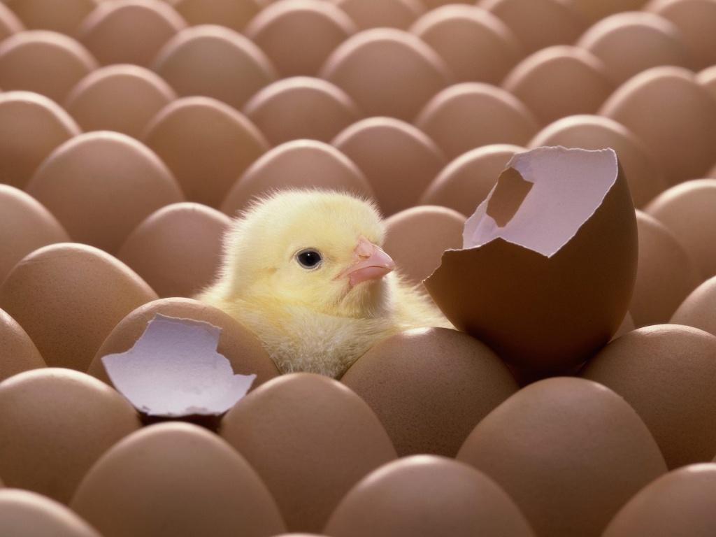 Cute Easter Wallpaper New born cute easter chicken