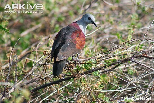 paloma perdiz de las Marquesas Alopecoenas rubescens