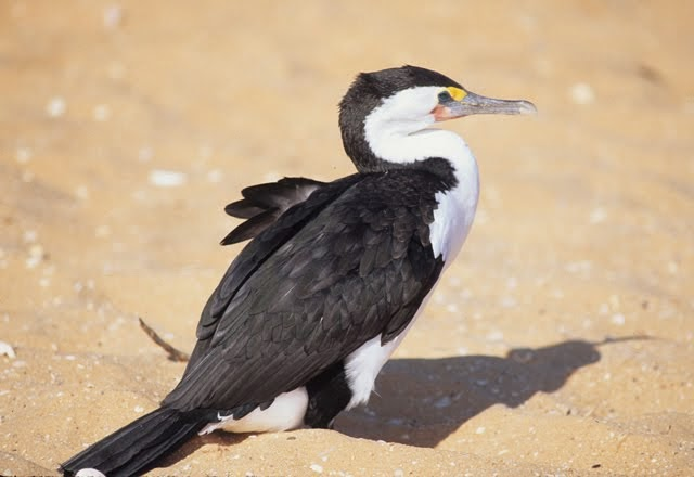 Pied Cormorant 2