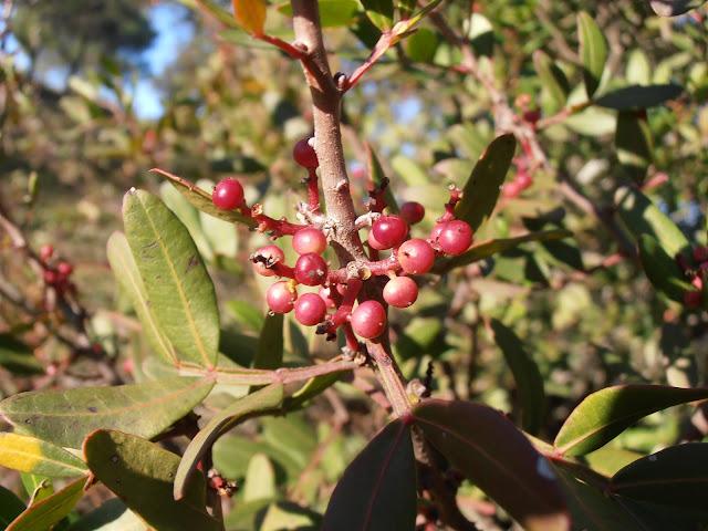LENTISCO: Pistacia lentiscus