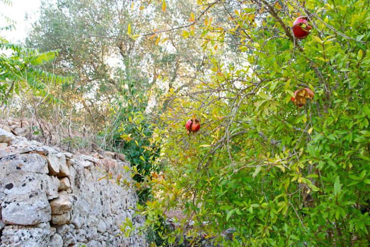 Lavanda rose antiche pietre for Ruggine delle rose
