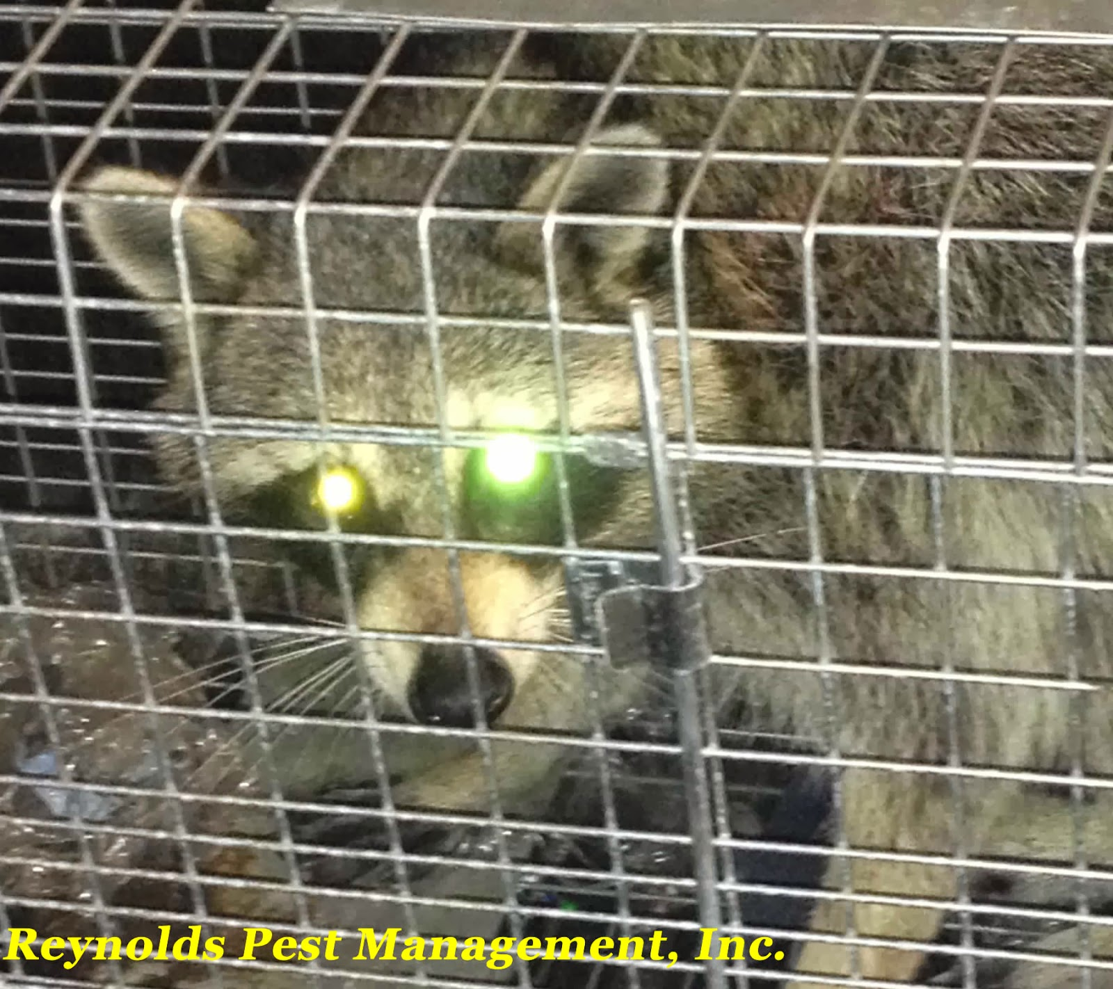 Raccoon Control | Palm City, Stuart, Jensen Beach, Hobe Sound, Saint Lucie, Palm Beach Counties