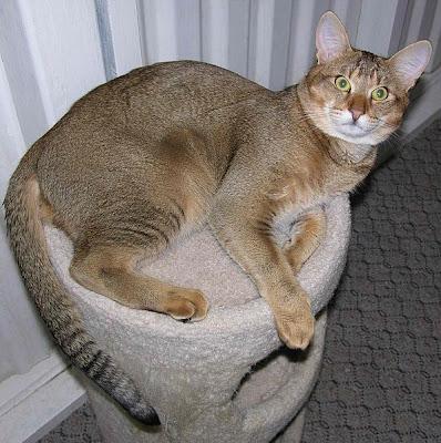 Foto Kucing Chausie