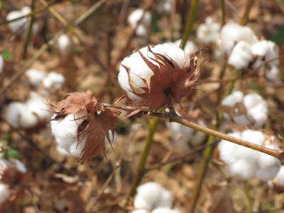 Productores-algodón-Costa-expectativa-decisiones-gobierno-cosecha-2015-2016