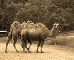 http://vicenteurquia.blogspot.com.es/2014/07/acertijo1-los-35-camellos.html