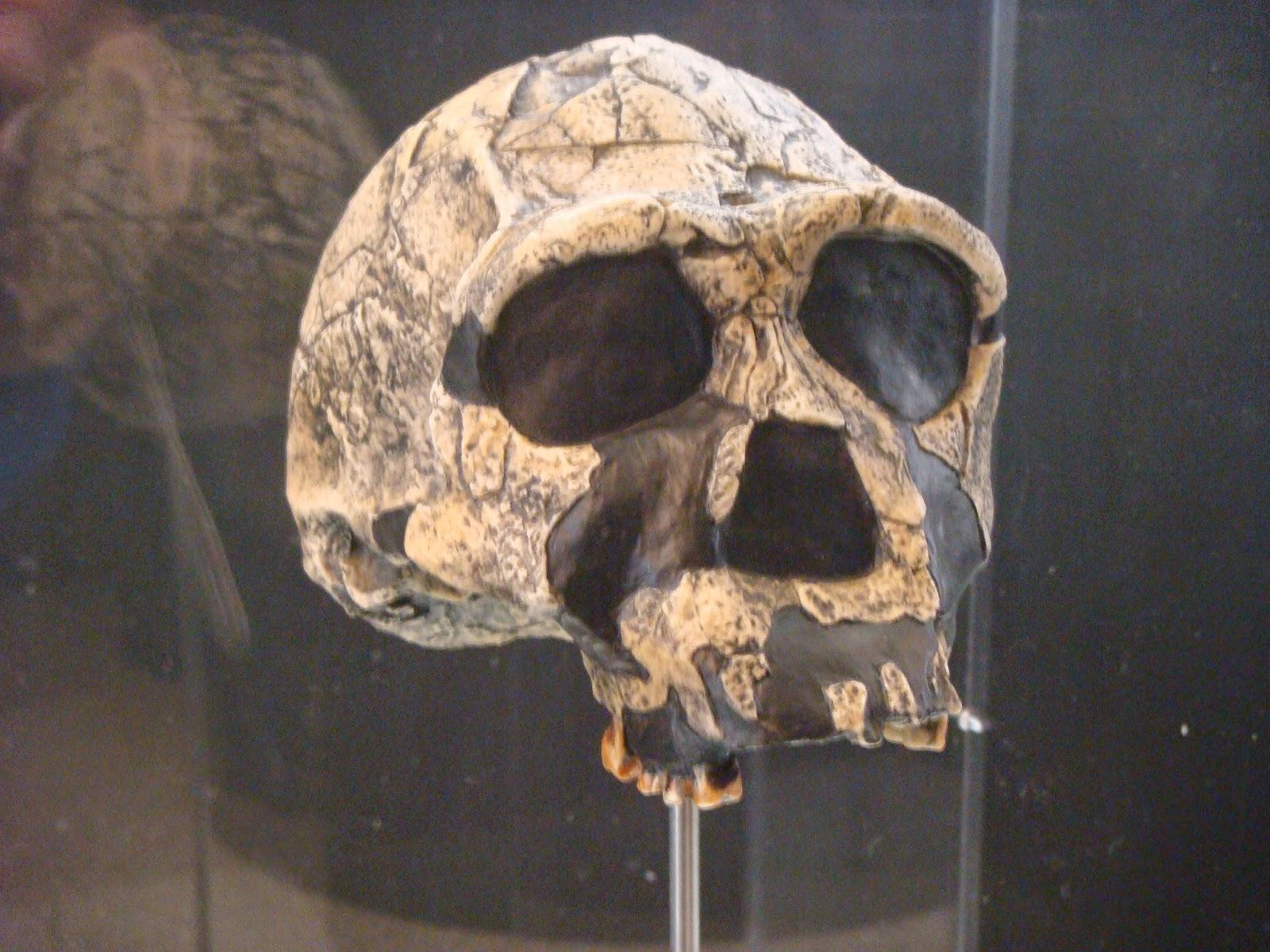 Fotografía de cráneo de H. ergaster realizada por Manuel Ansón