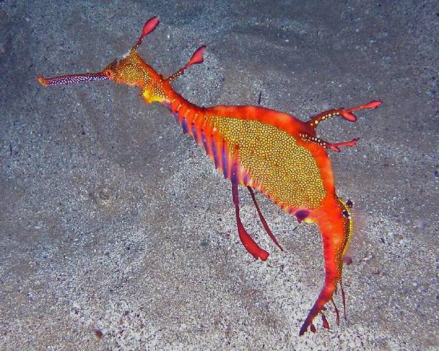 Los caballitos de mar se reproducen sexualmente