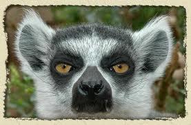 Aylak Lemur