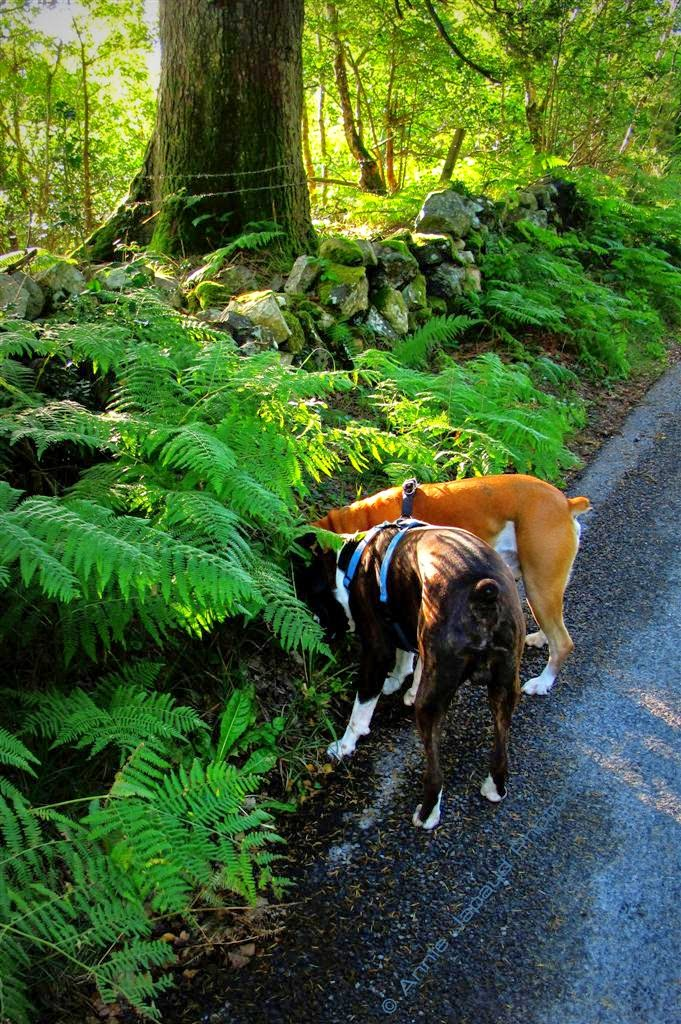 boxer dogs, tree, summer greens