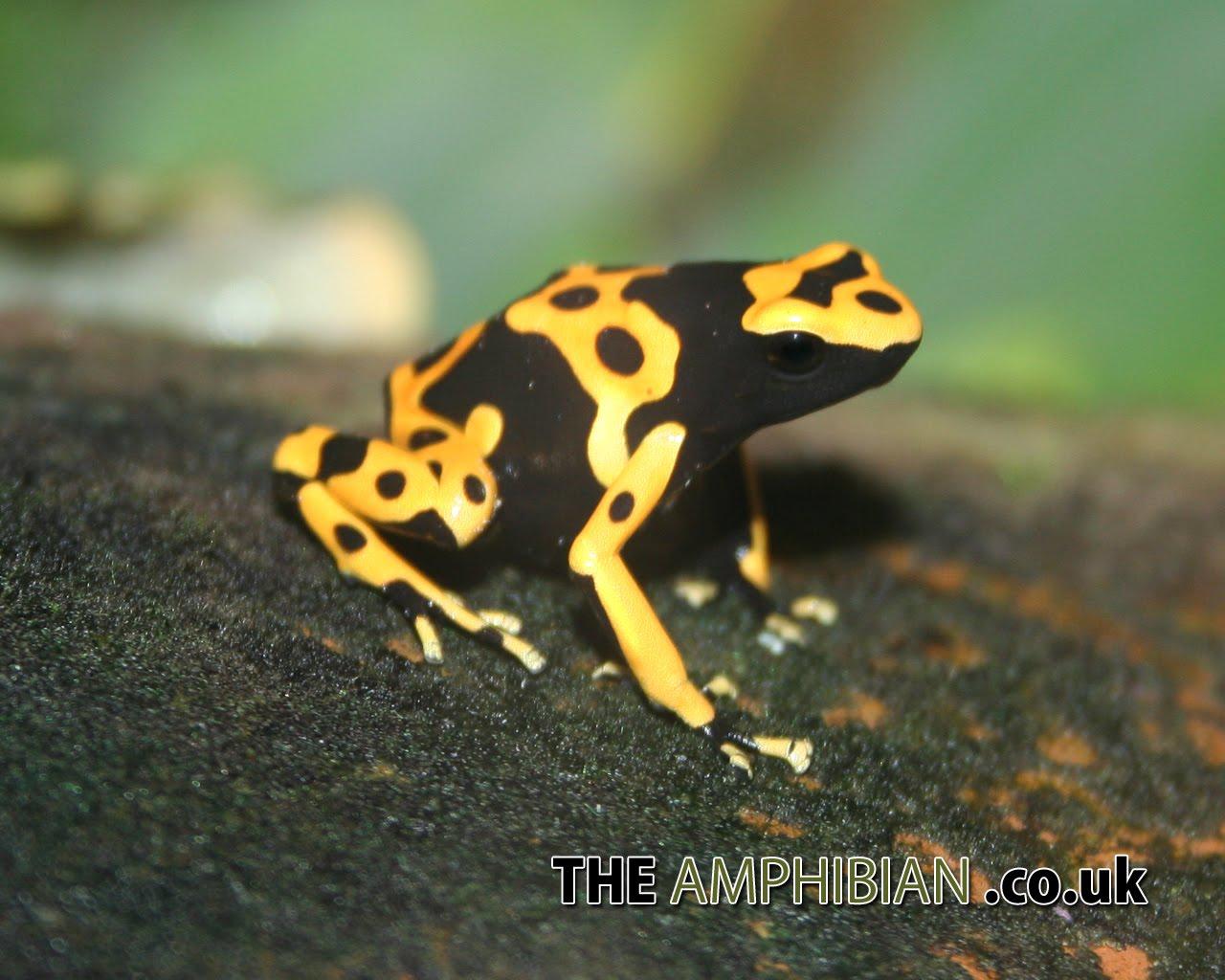 http://4.bp.blogspot.com/-j1sX_F5jmdQ/Tng1vE4JFDI/AAAAAAAAAN8/TwQD5LMHvk8/s1600/poison-dart-frog-wallpaper-12-723766.jpg
