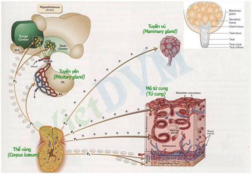 Cơ chế tác động của các hocmon sinh sản trên heo nái.