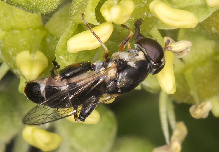 Hoverfly, Syritta pipiens.  Gates Green Road, Coney Hall.  31 August 2014.