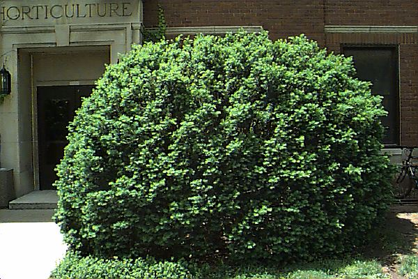 yew_shrub-761337.jpg