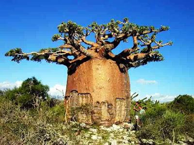 Baobab (Adansonia)