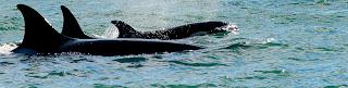 orcas season in Peninsula Valdes Patagonia Argentina