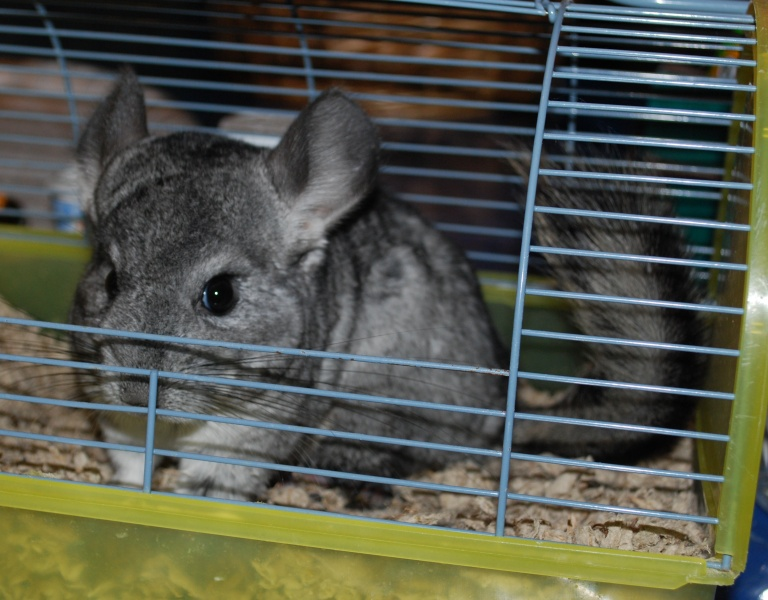 anyway enough ranting back to the chin  here u0027s pics of rochelle  nights at the chinchilla rescue  hammocks    good and bad  rh   nightsatthechinchillarescue blogspot