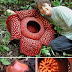 World's Largest Flower/ Largest Flower in the World