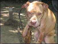 Imagenes de perros de pelea