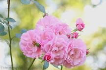 rose Bonica