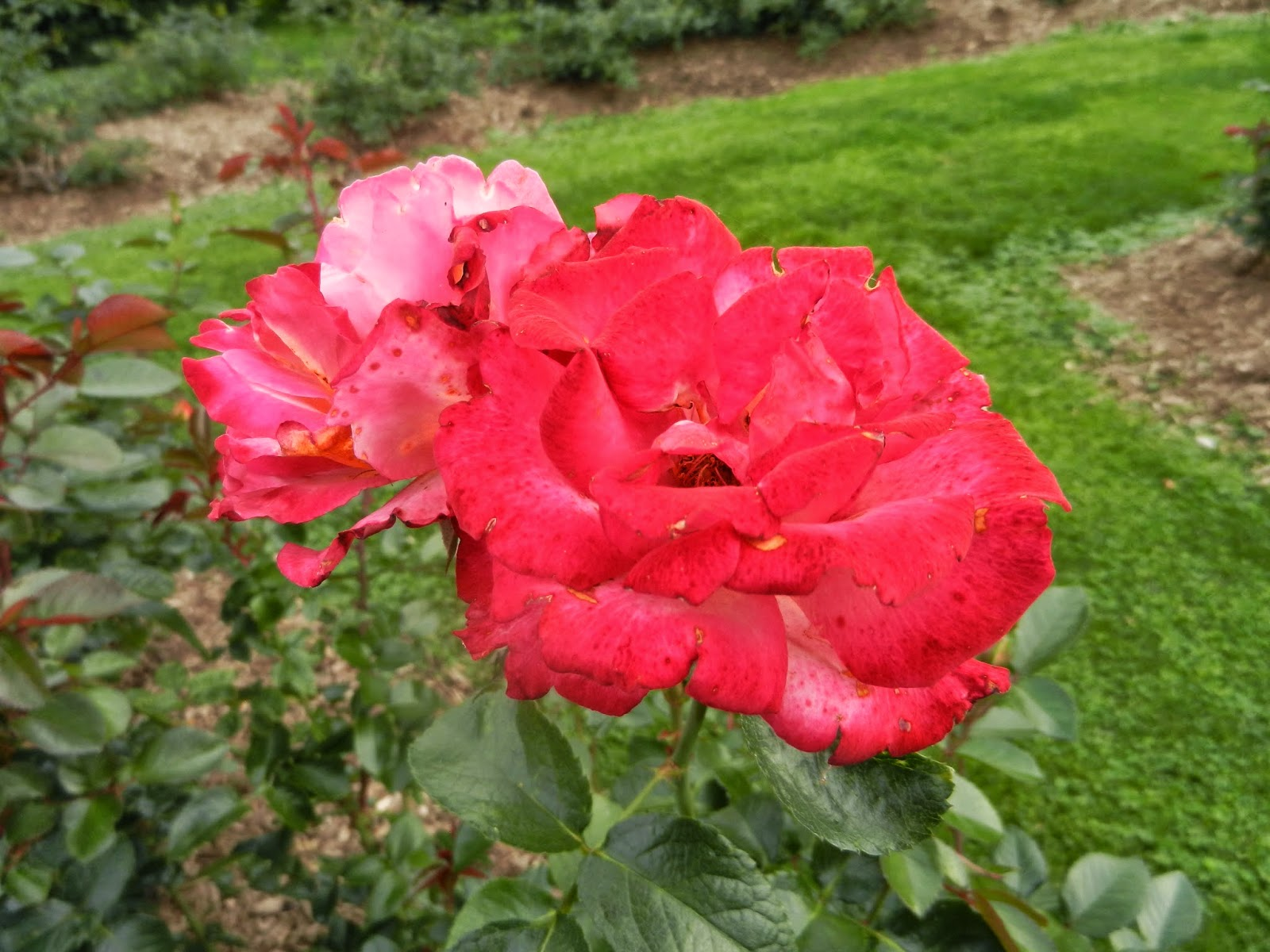 botanical rose garden leclaire illinois