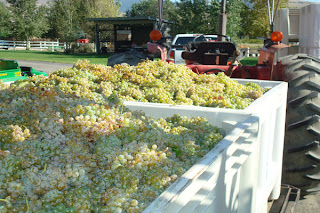 Semillon_Grapes_Palisade,_Colorado