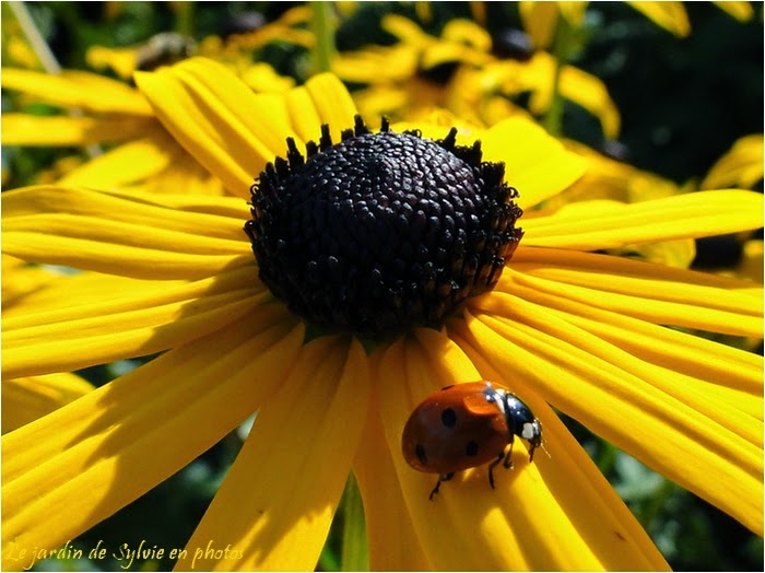 rudbeckia jaune et coccinelle