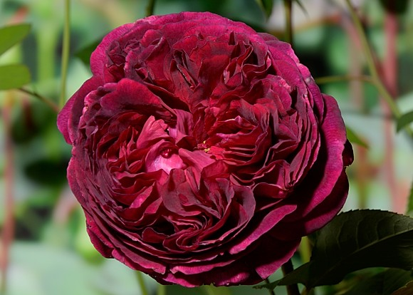 Falstaff rose сорт розы фото
