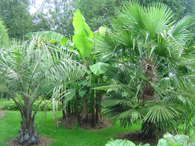 Quand et ou planter un palmier flore de l le de la for Entretien palmier exterieur