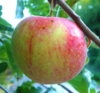 Ripe Apple on Tree