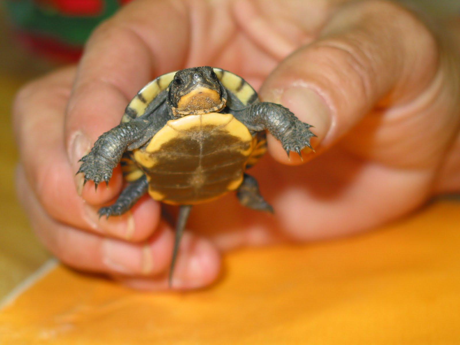Quarter Sized Turtles