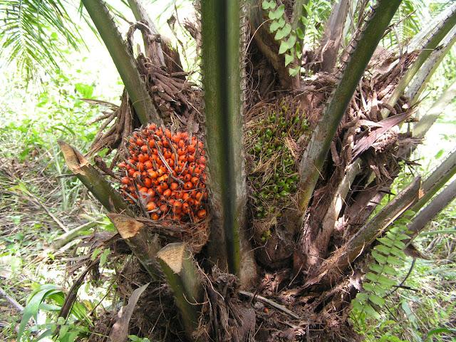 palm nut tree