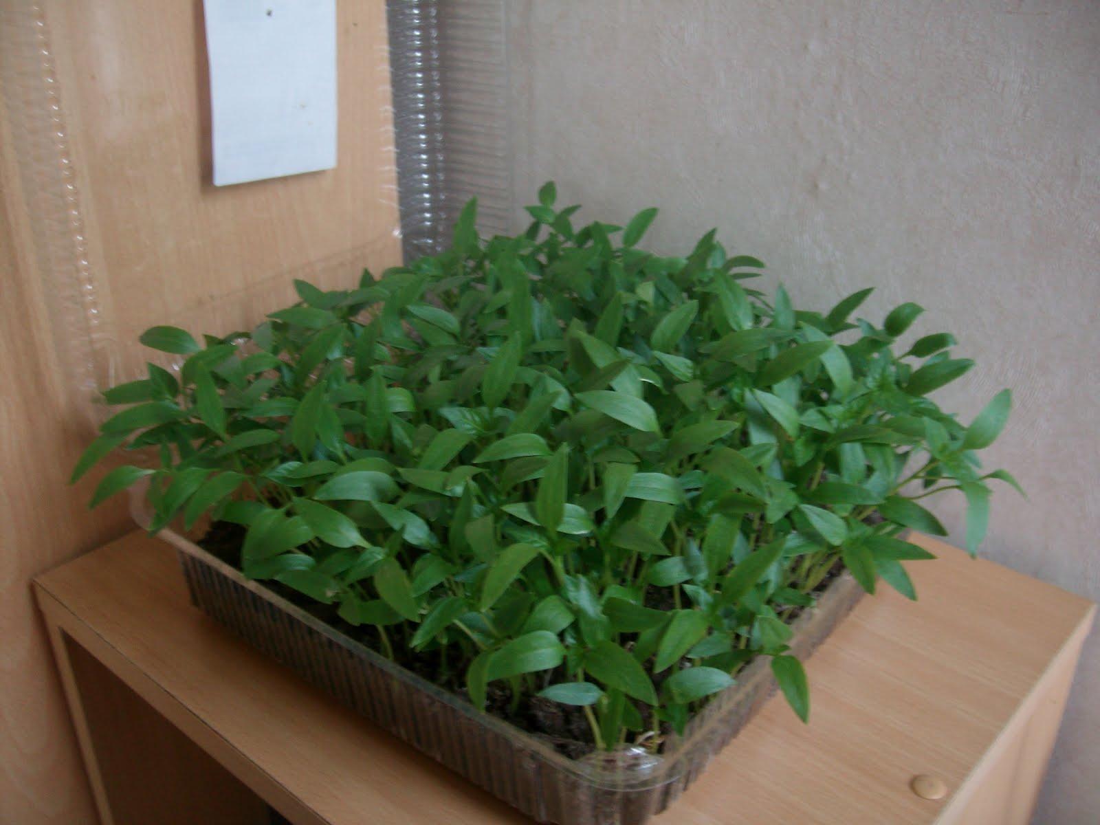 Blog d 39 expression boutures et semis 2012 - Quand planter les poivrons ...