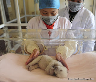 A staff member of the Penglai Ocean and Polar Region World, Shandong Province, China, takes care of a polar bear cub.