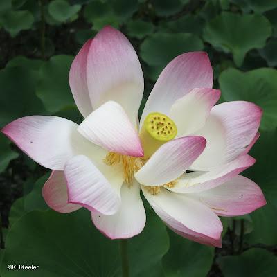 lotus Nelumbo nucifera