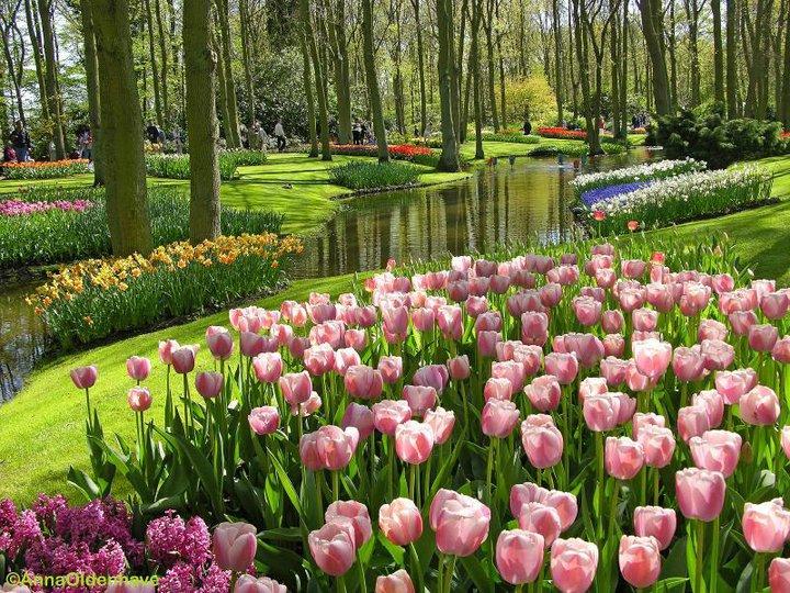 Beautiful Nature Pictures Pink Tulips in Beautiful Garden