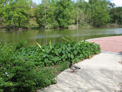 mallard duck:  Audubon Park, NOLA