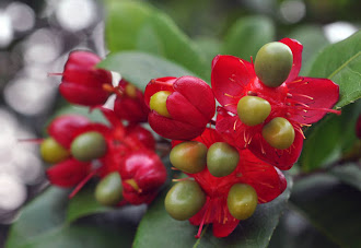 Ochna Kirkii - A Mickey Mouse Plant