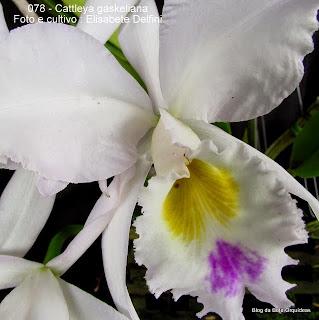 Cattleya labiata var gaskelliana