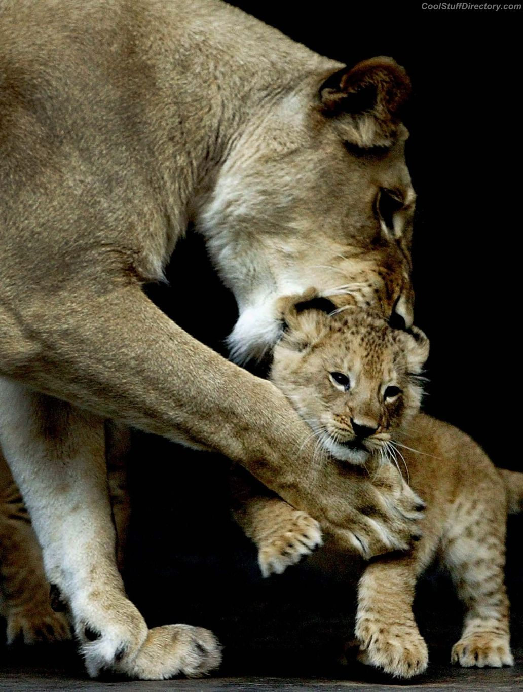 African lioness plays with her baby at Taronga Zoo, Sydney, Australia.