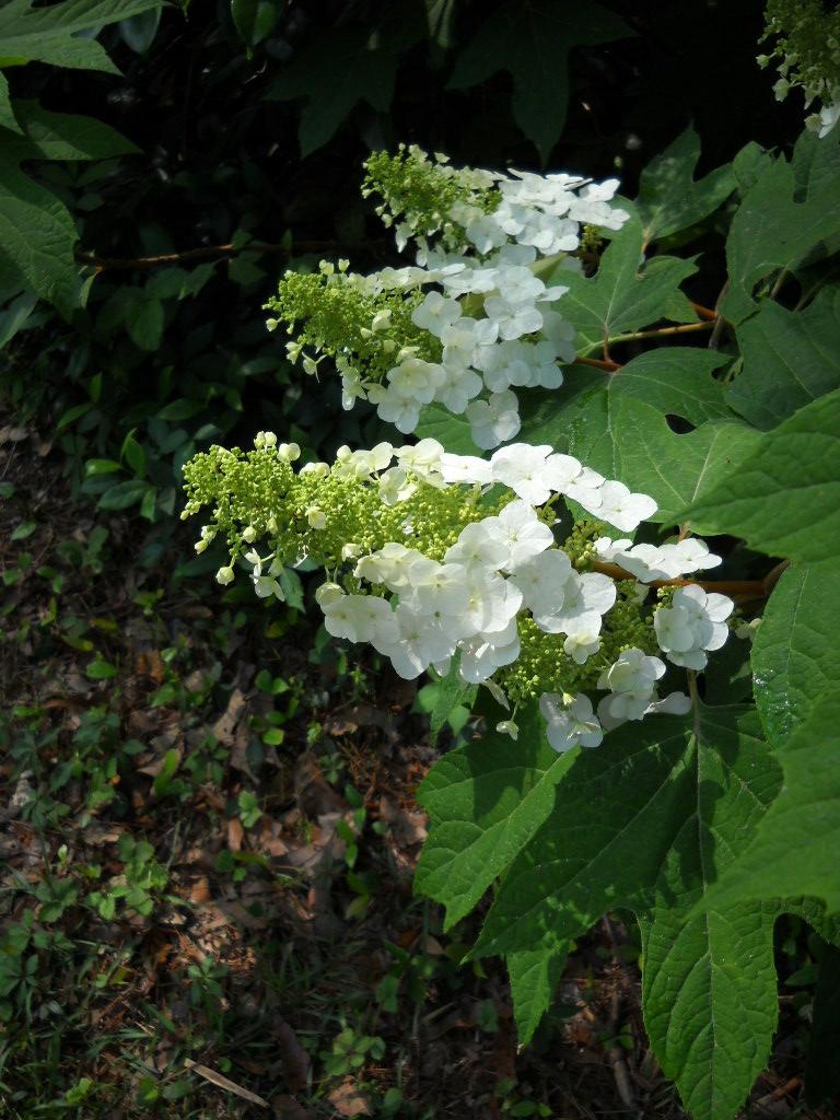 Secrets of a seed scatterer hydrangea quercifolia is a for Hydrangea quercifolia