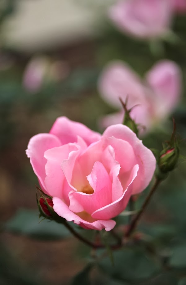 Last of the Roses ~ Photo by ChatterBlossom #pink #rose