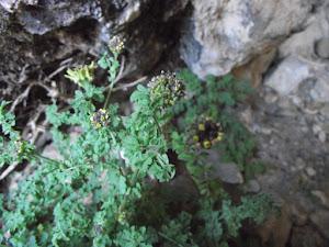 Descurainia athrocarpa (A. Gray) O.E. Schulz